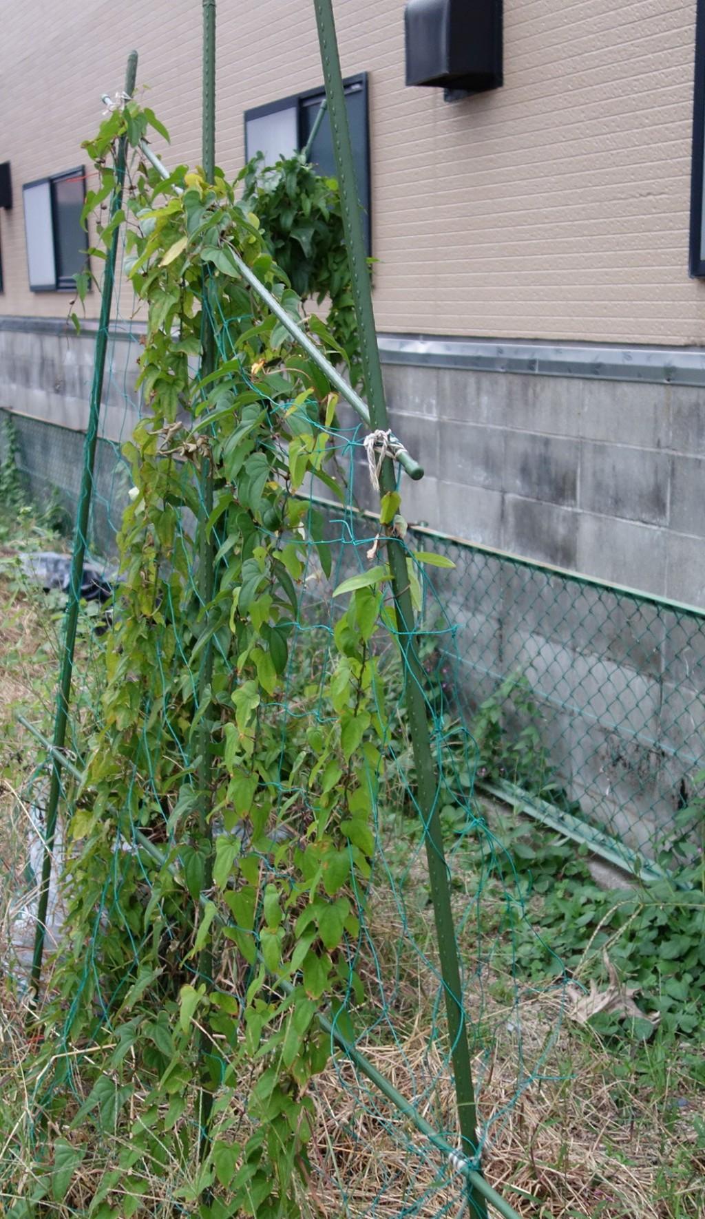 山芋栽培の支柱