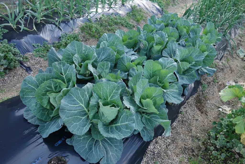 キャベツ栽培の特徴