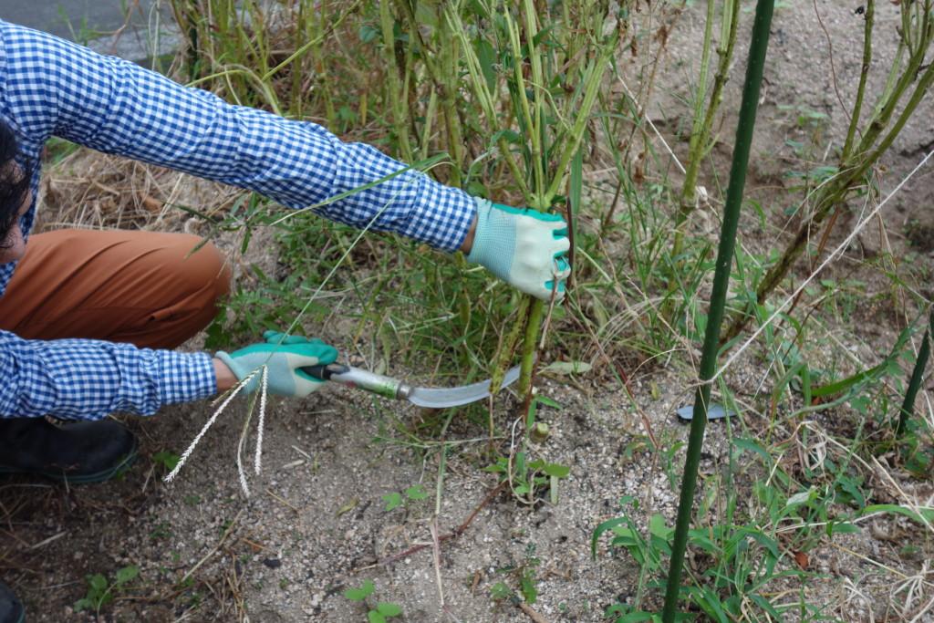 ごまの収穫で根本から刈り取っている様子