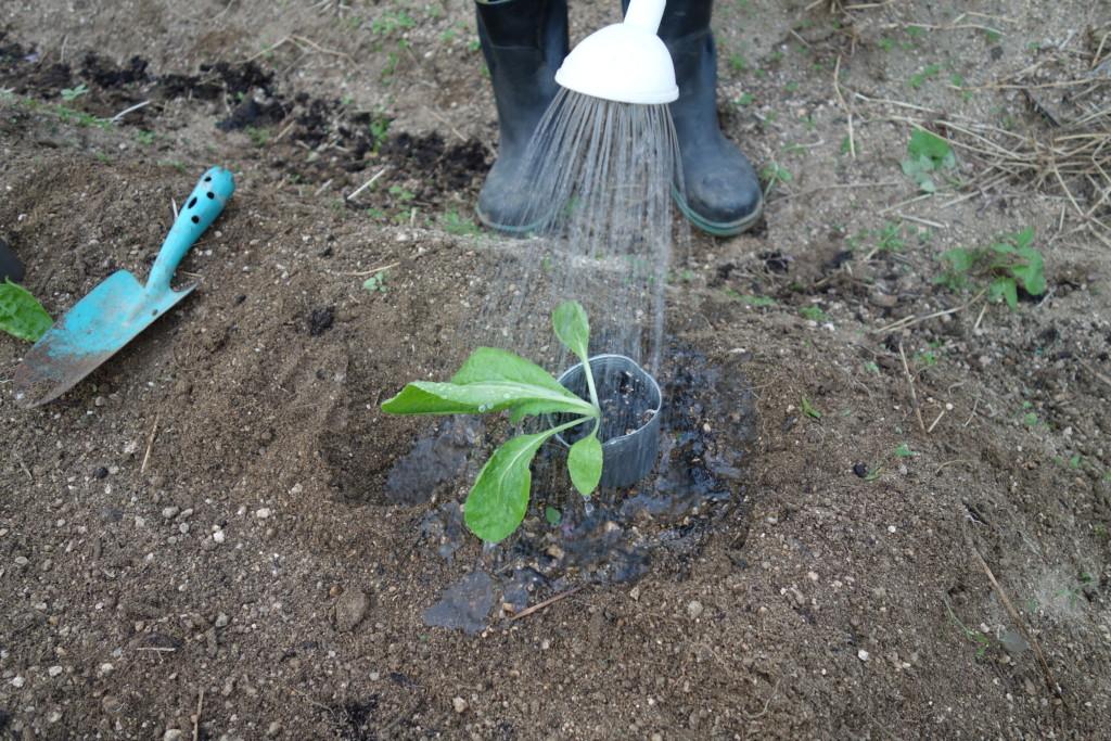 白菜植え付けのため苗に水やりをしている