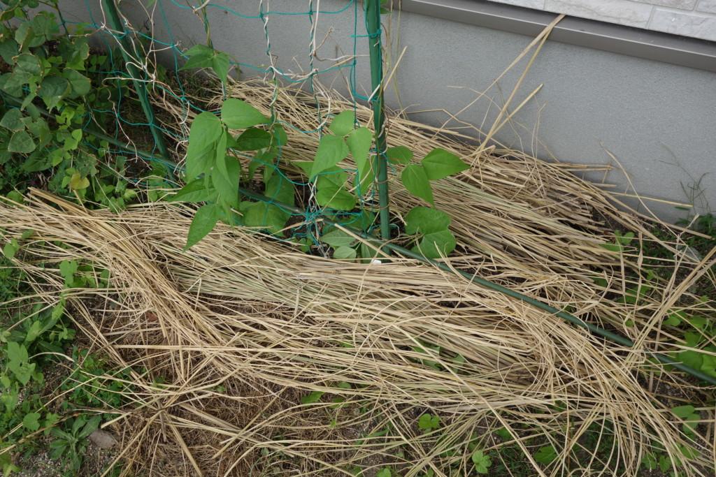 インゲンに敷き藁をして保水している
