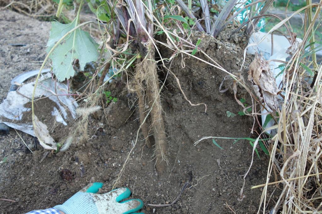 土を落としゴボウがみえている