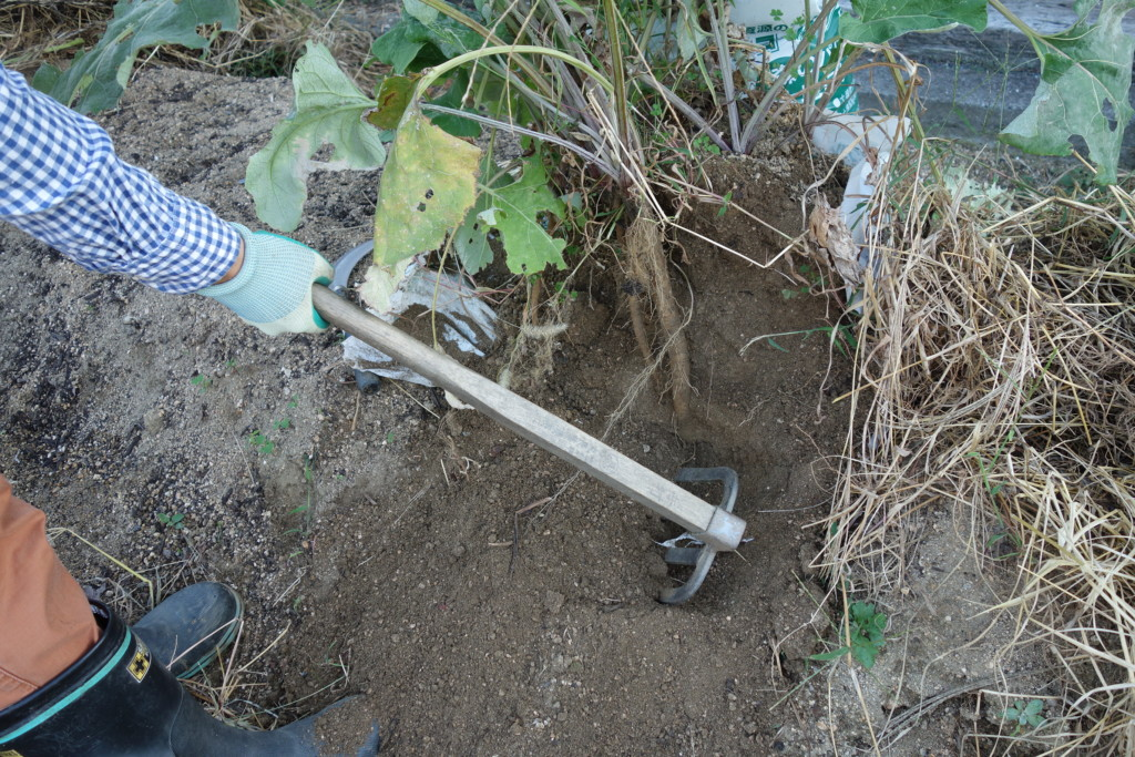下に伸びたゴボウをクワで掘り起こす様子