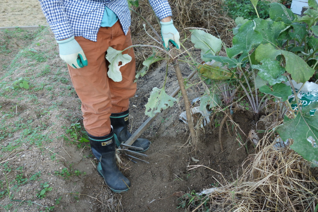 袋栽培のゴボウ収穫