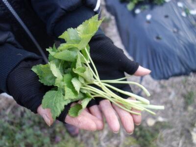 三つ葉の収穫