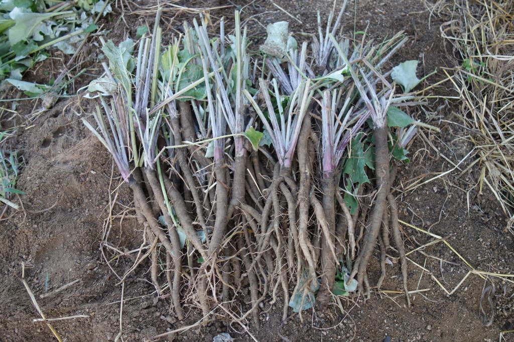 ゴボウ収穫し葉切り後