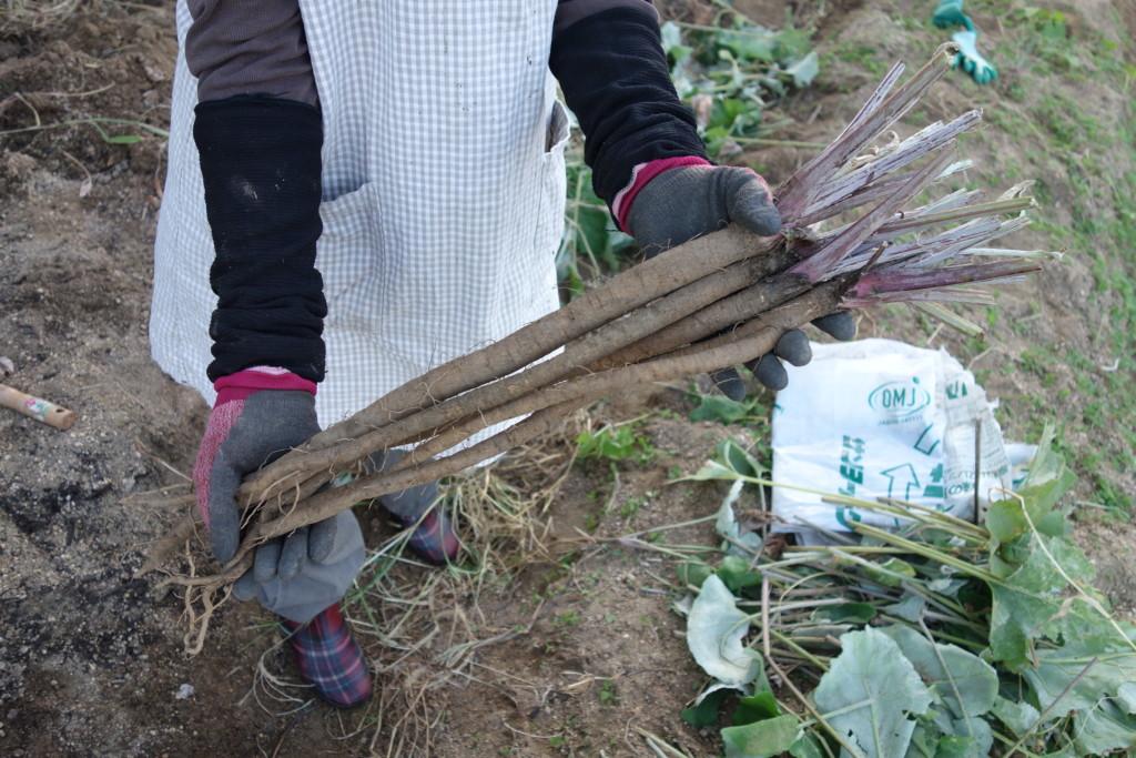 ゴボウ収穫