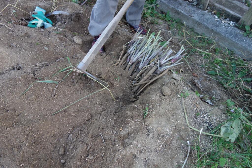 ゴボウの土かけ
