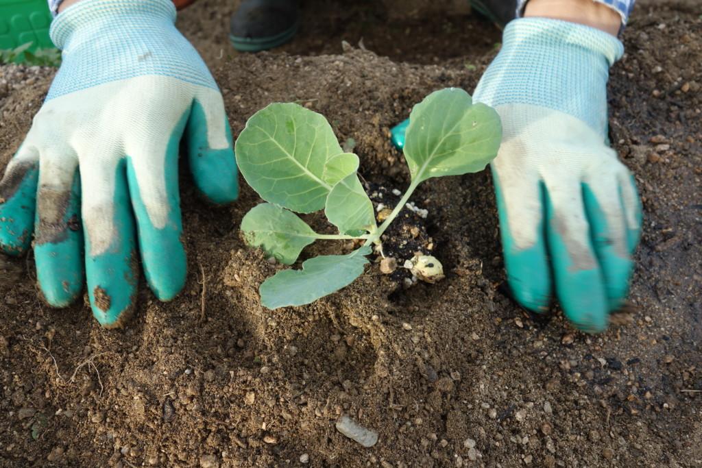 キャベツ苗の植え付け中