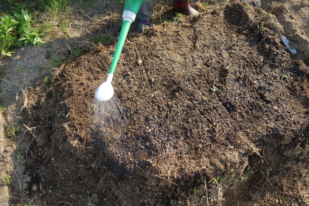 空芯菜の種まきで水やりをしている