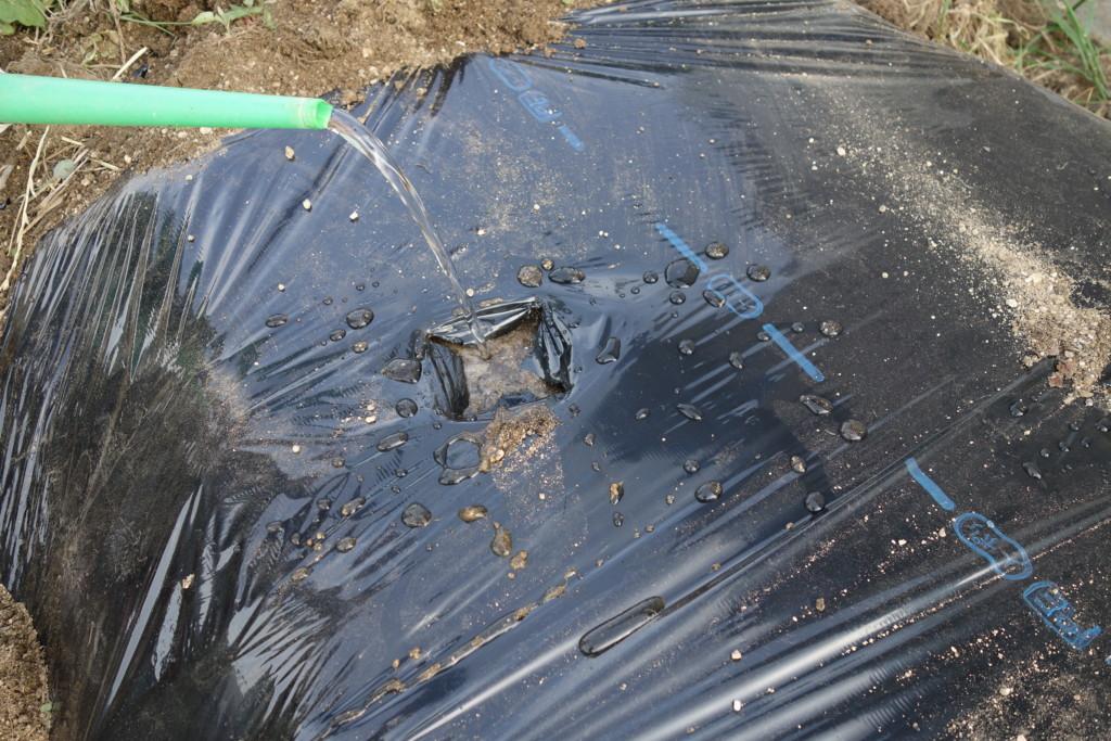 セロリの植穴に水を入れる様子