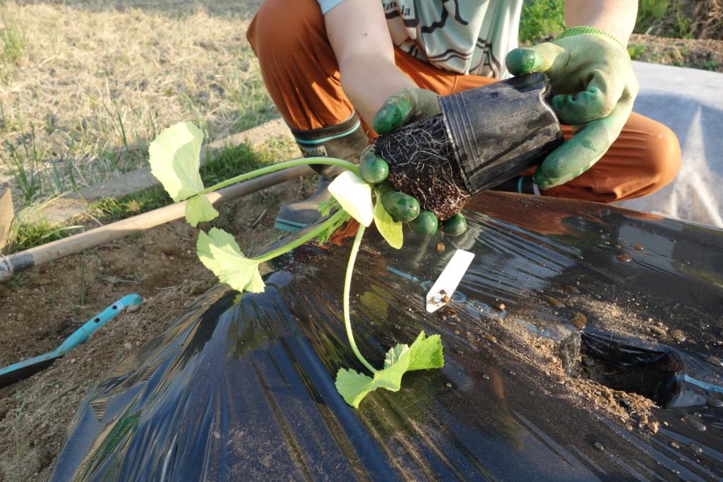 ズッキーニの苗を植え付けている