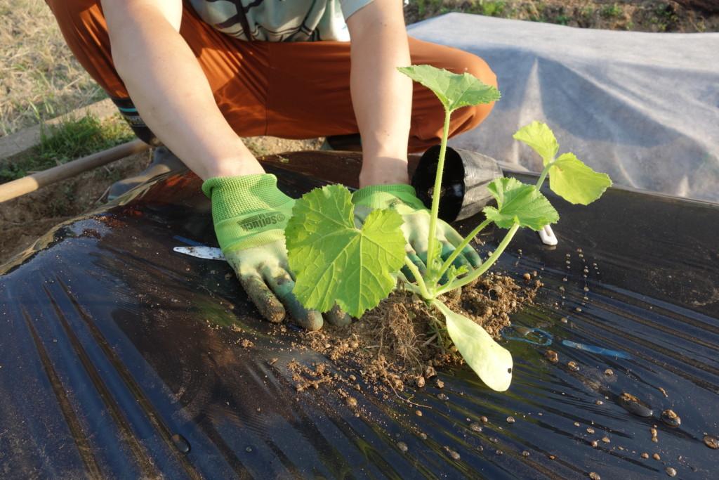ズッキーニの苗を植え付けている様子