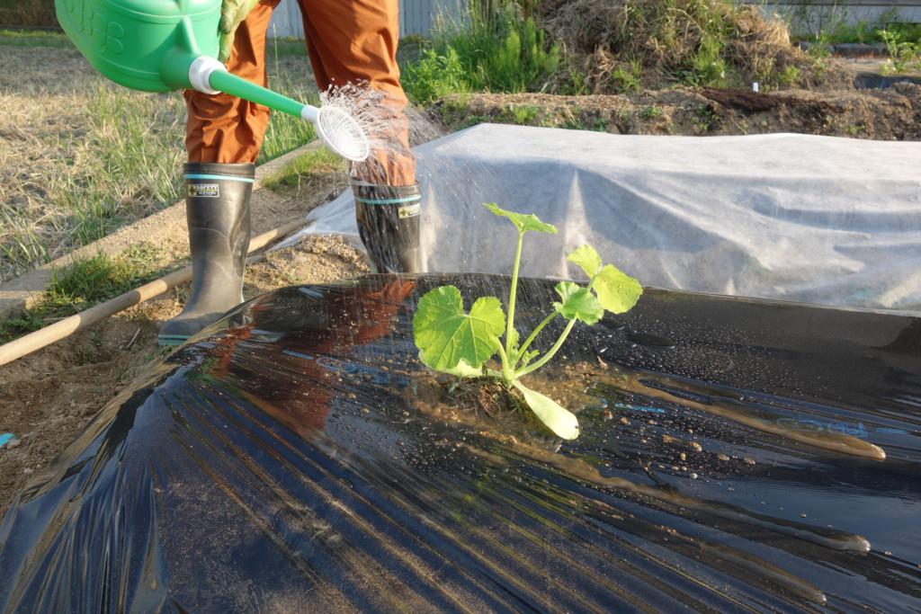 ズッキーニの植え付け完了で水やりしている