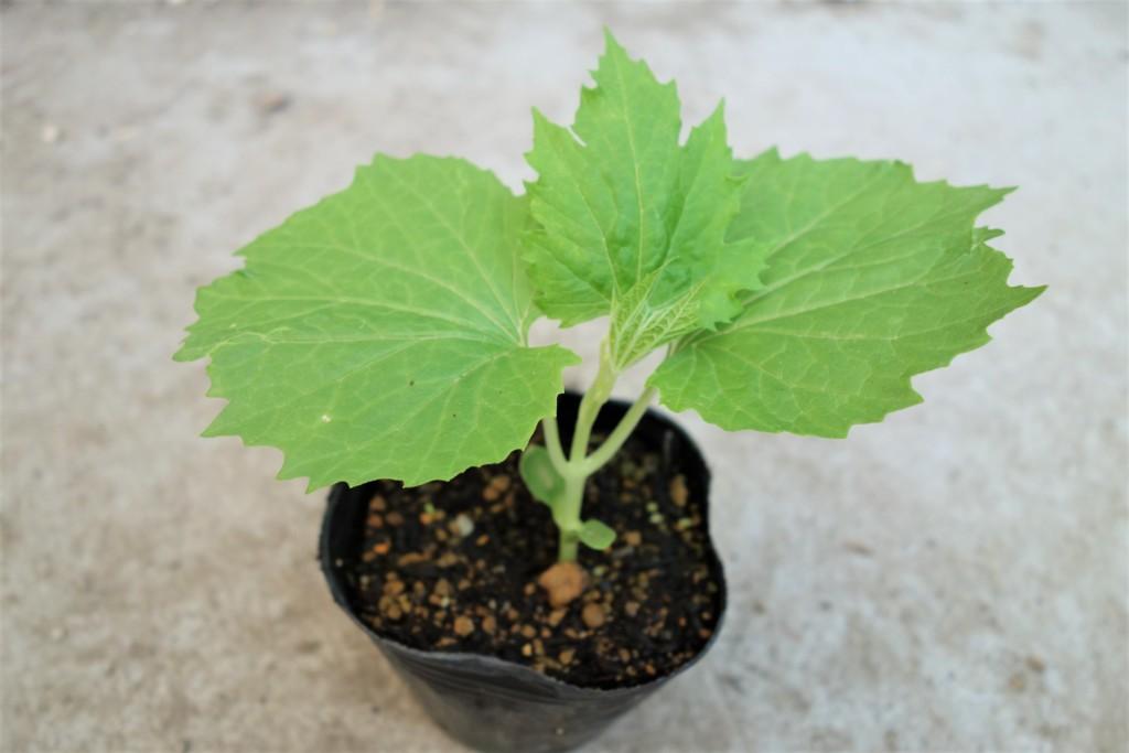 ゴーヤの苗を本葉3~4枚まで育てた様子