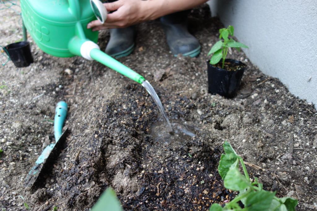 インゲンの植え付けのため水を注ぎこんでいる様子