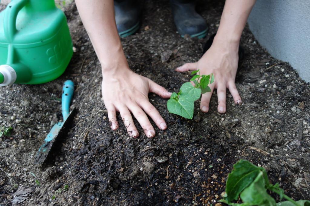 インゲンを植え付けて苗を押さえている様子