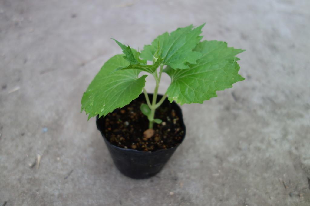 ゴーヤの植え付けごろの本葉4枚苗