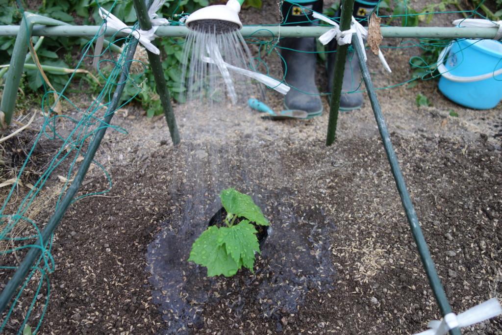 ゴーヤ苗に水やり