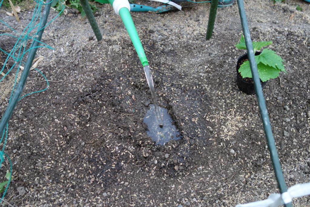 ゴーヤの植穴を掘って水をたっぷり注いでいる様子