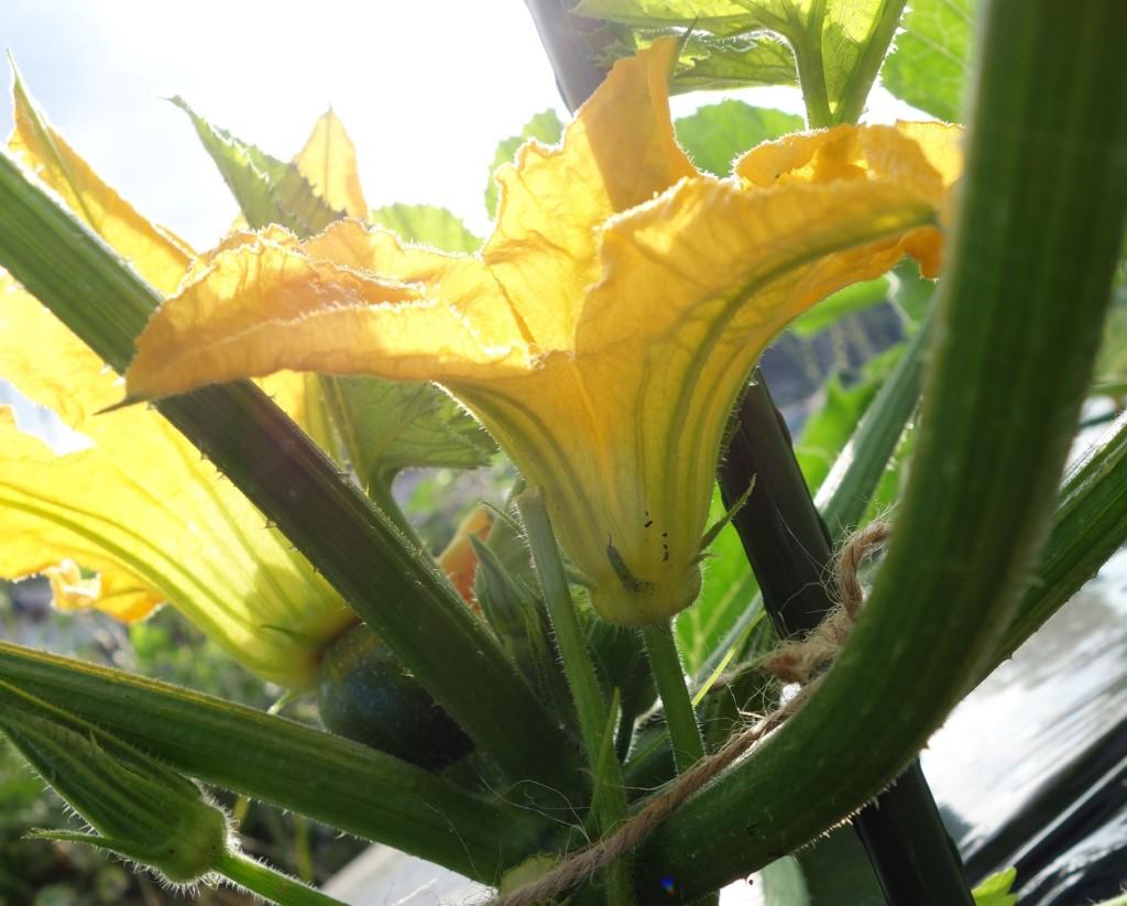 ズッキーニの雄花が咲いている
