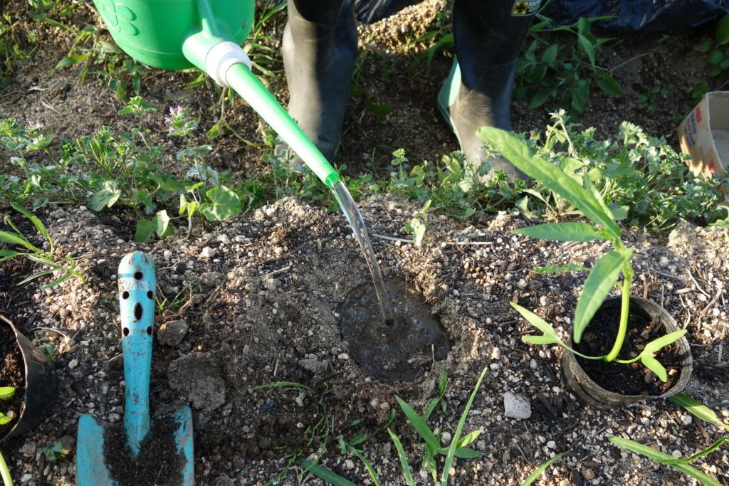 空心菜の植穴に水を入れている