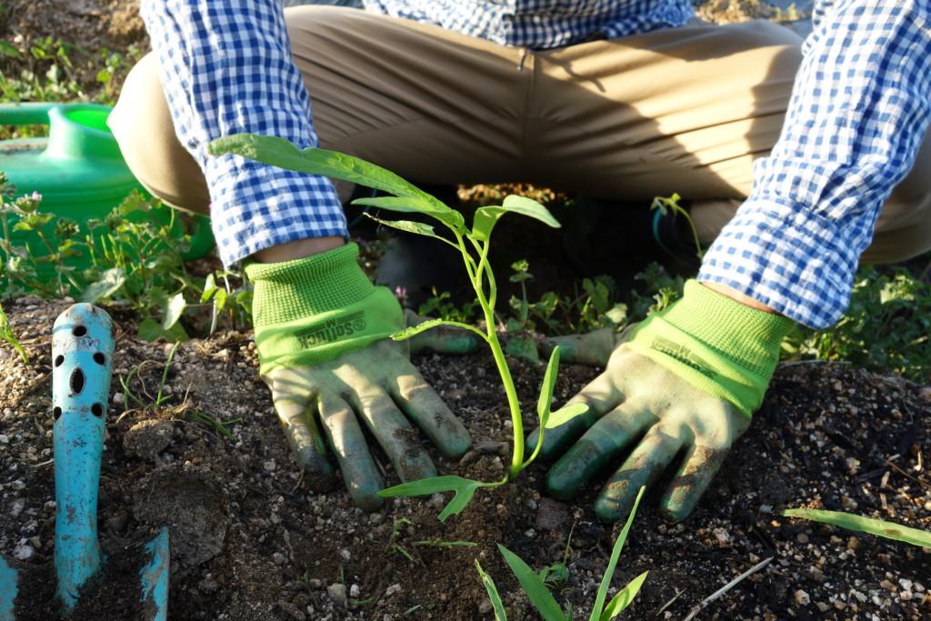 空芯菜を植え付けて手で押さえている