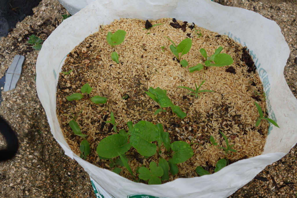 ゴボウ袋栽培の発芽