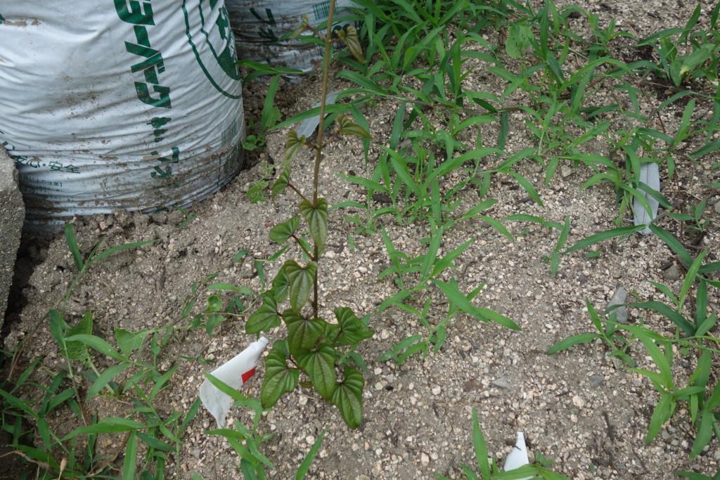 長芋の芽が出て30cm程になった状態