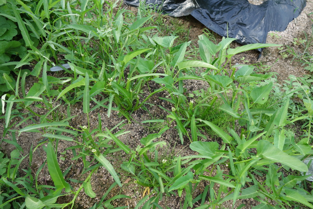 空芯菜をしっかり刈り取って収穫した