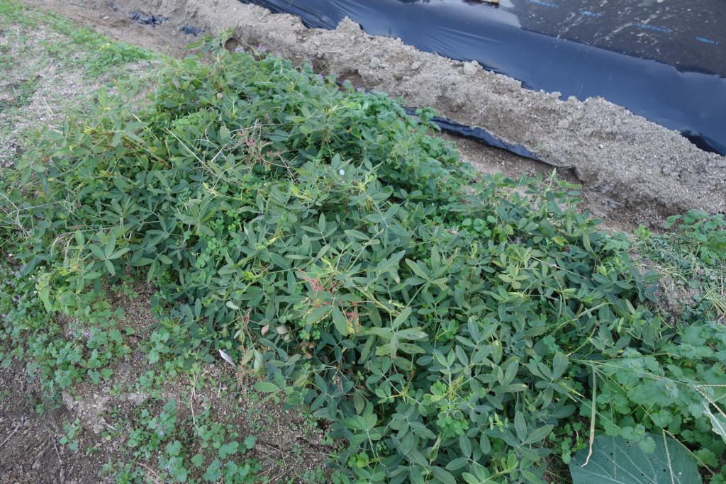 落花生の収穫期