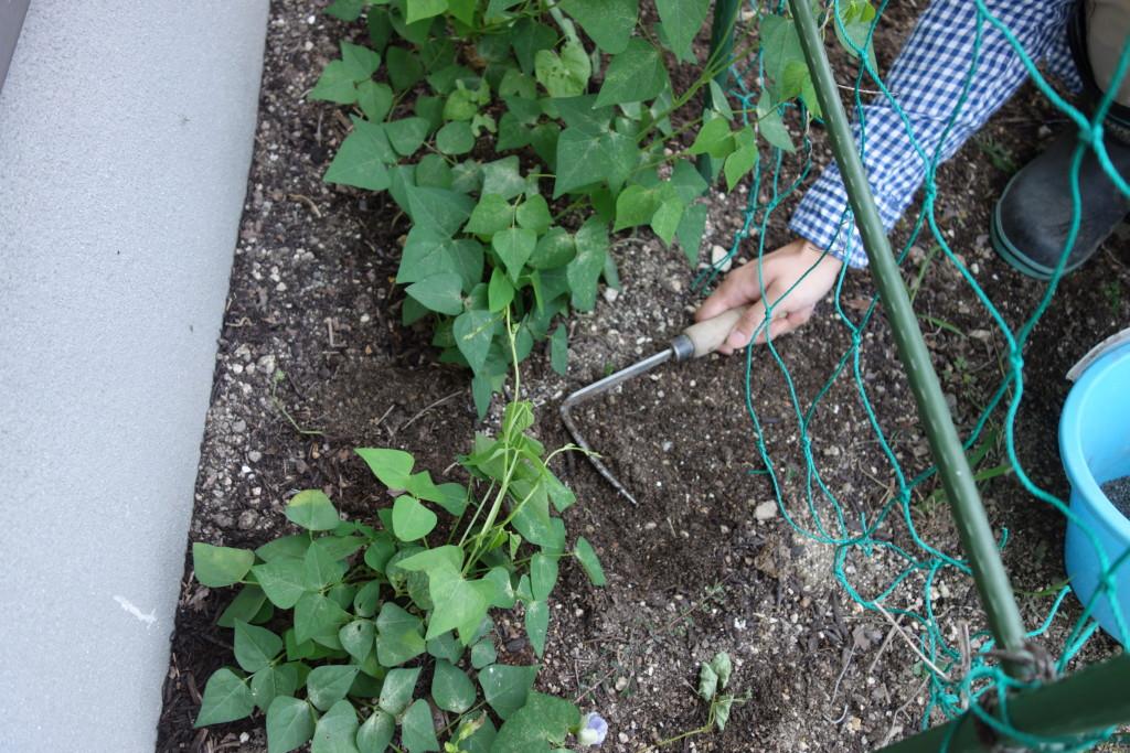 シカクマメに追肥して中耕している様子