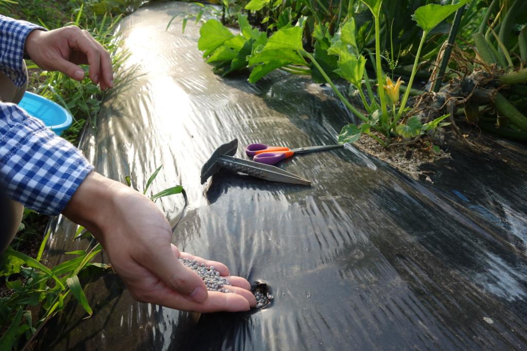 ズッキーニの追肥でマルチ穴に肥料を入れている