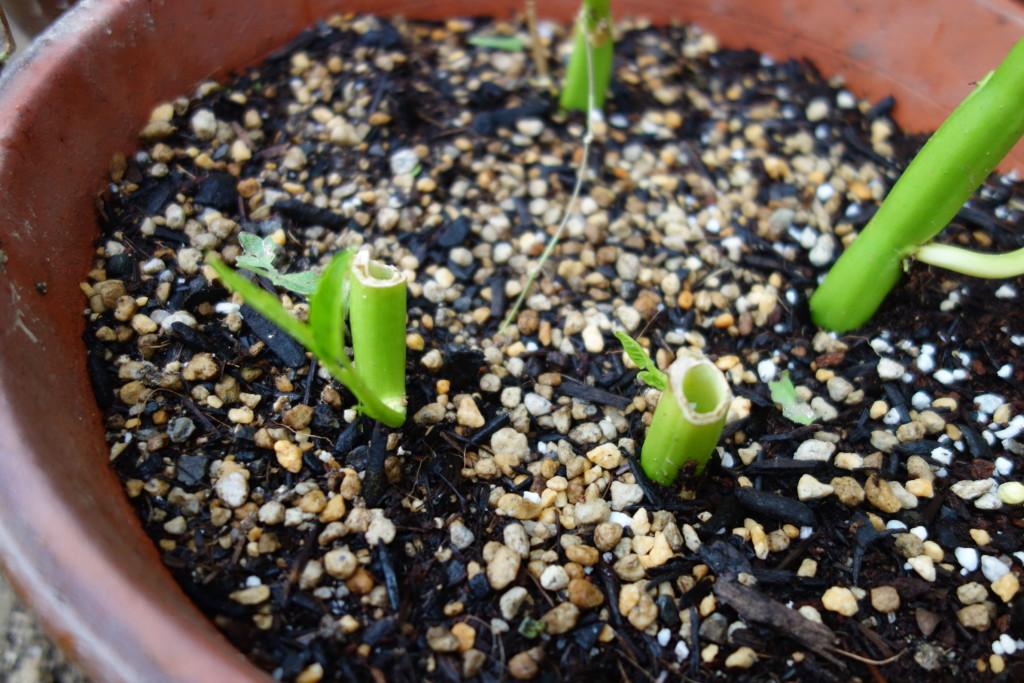 空心菜の挿し木から新芽