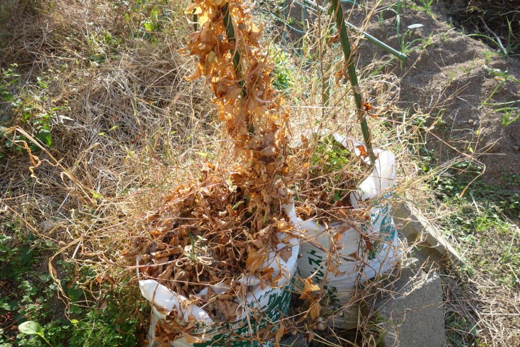 山芋袋栽培の収穫期