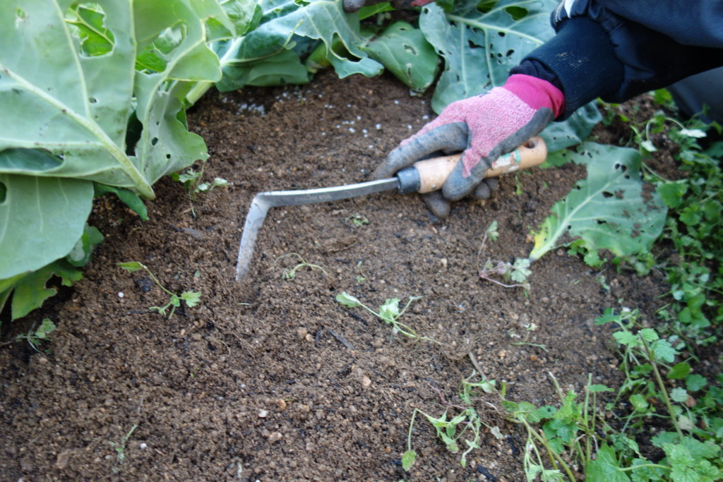 追肥後の中耕と土寄せ