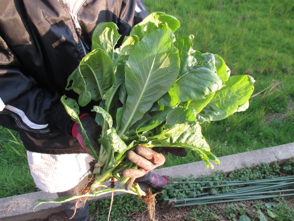 小松菜を収穫