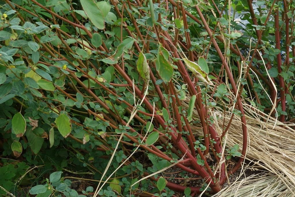 モロヘイヤの赤い茎
