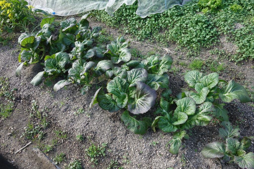 高菜の栽培特徴