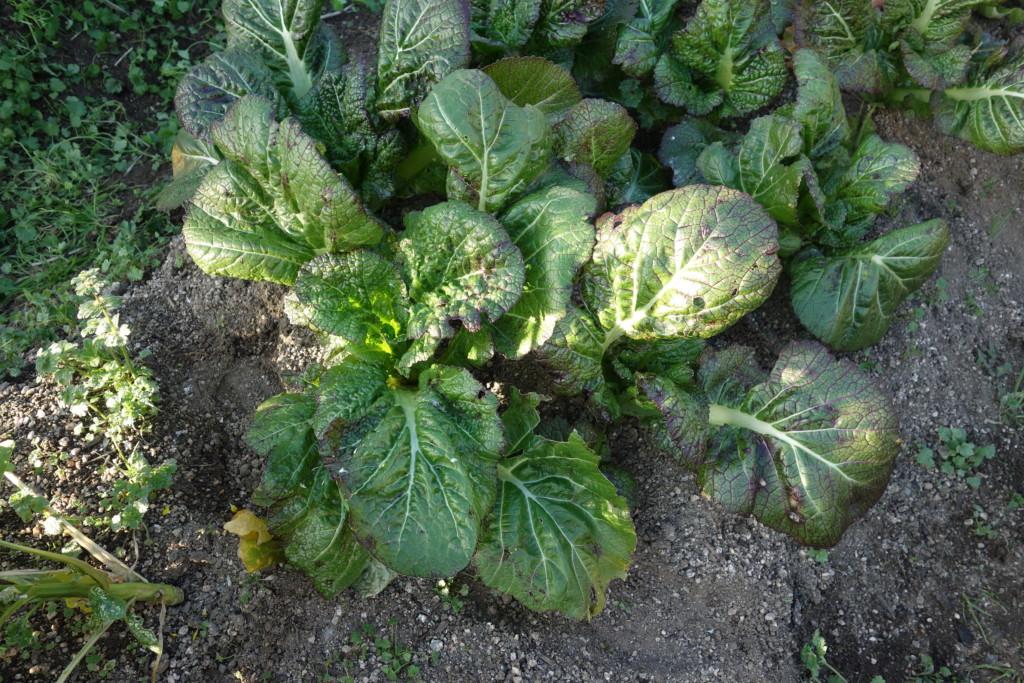 高菜の収穫時