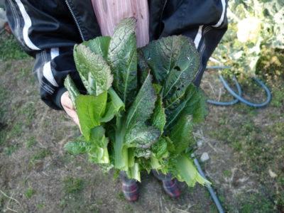 高菜のかきとり収穫