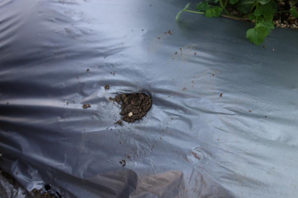 そら豆追肥後の覆土