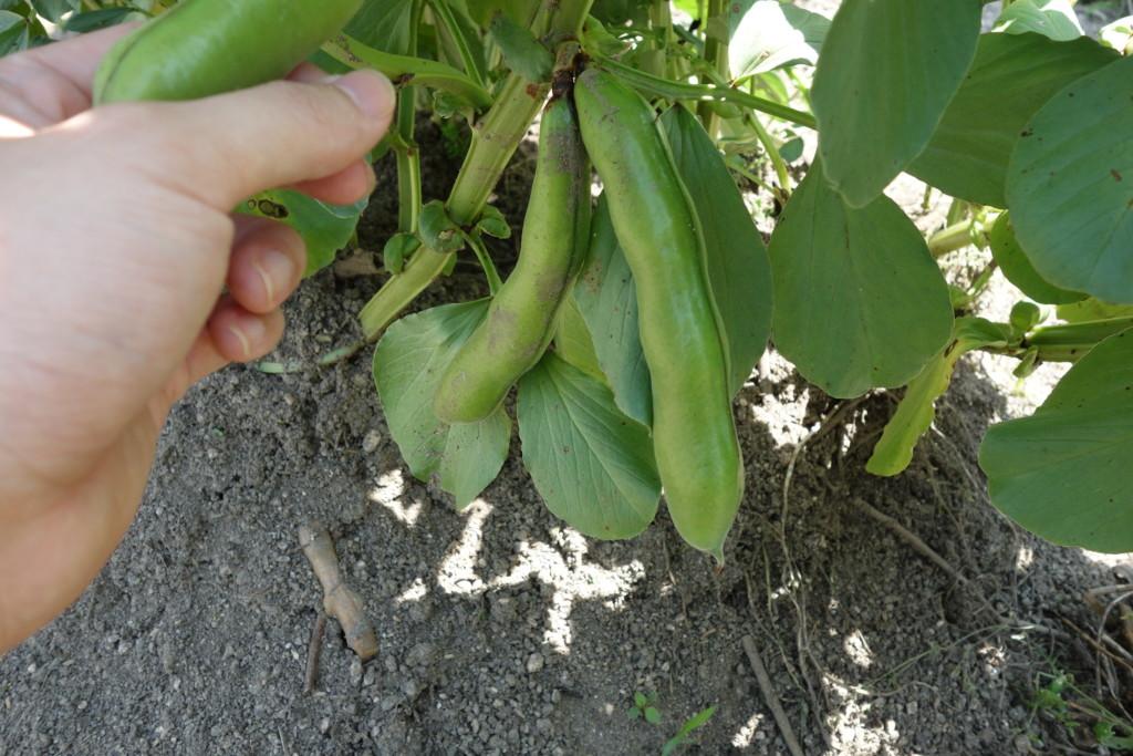 そら豆の収穫期
