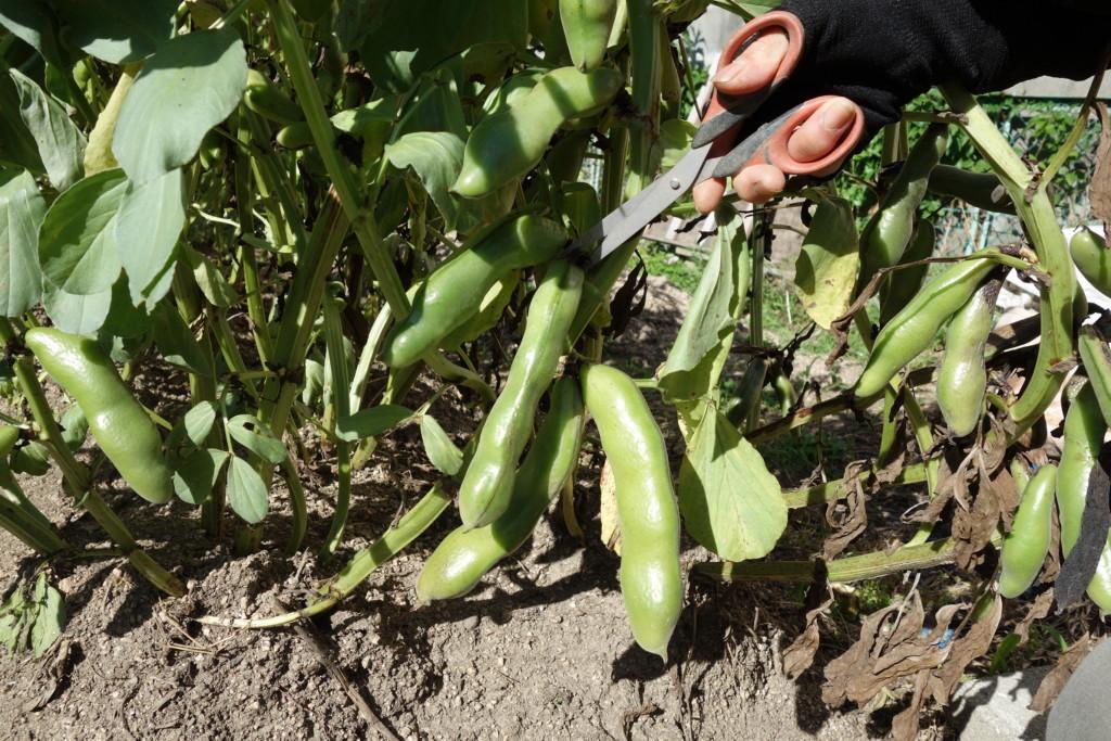 そら豆の収穫