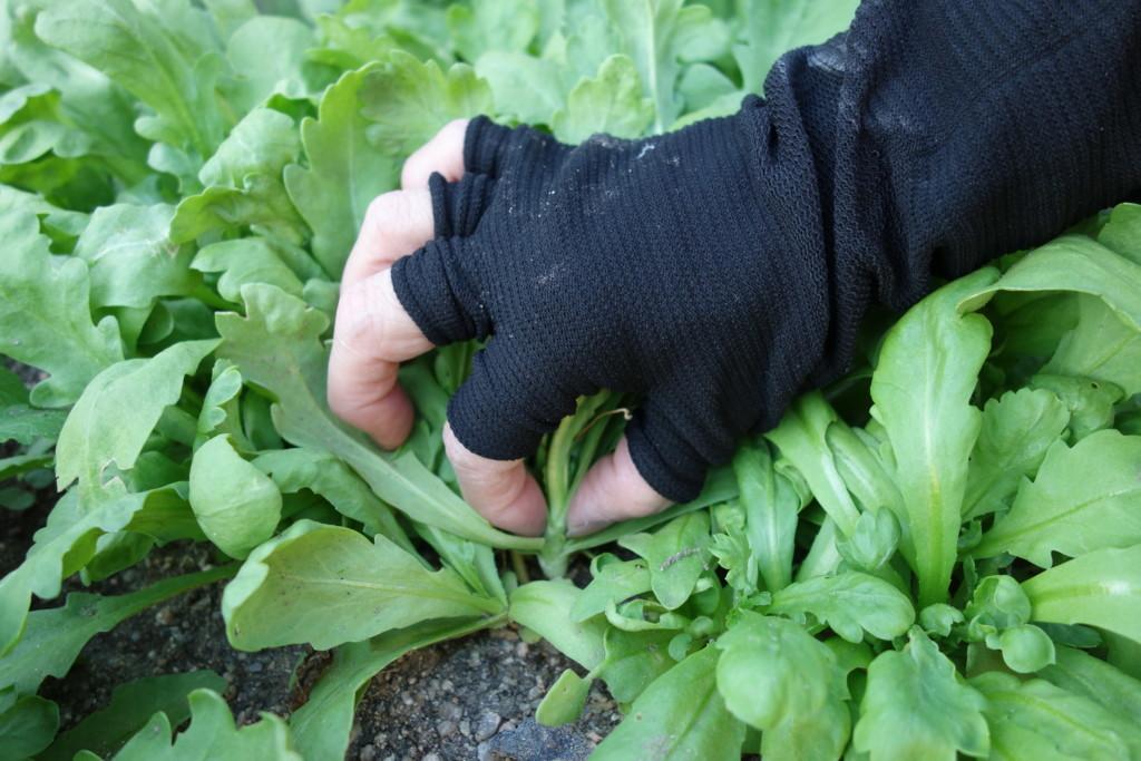 大葉春菊の収穫方法
