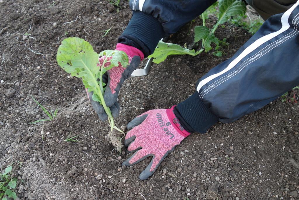 高菜の植え替えをしている様子