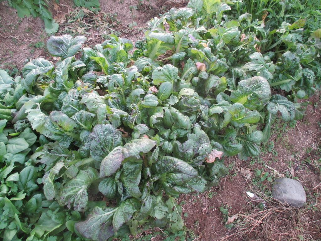 高菜を密植栽培している様子