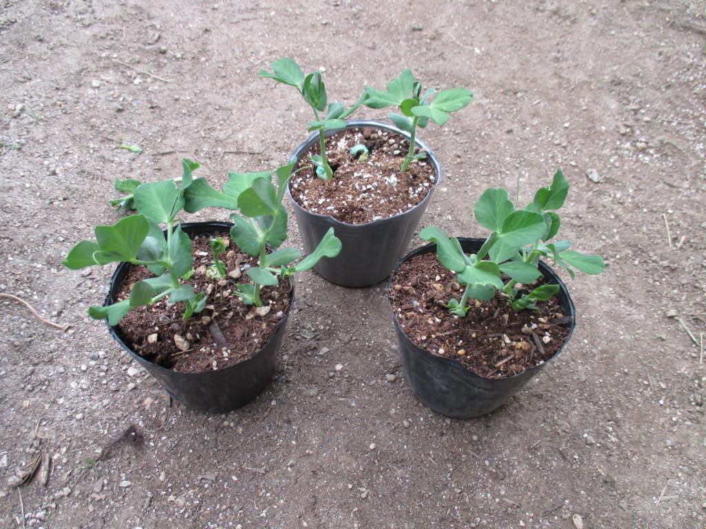 スナップエンドウの植え付け適期苗