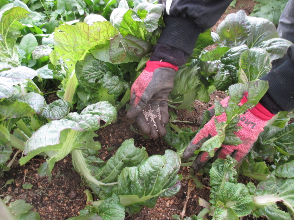 高菜の追肥