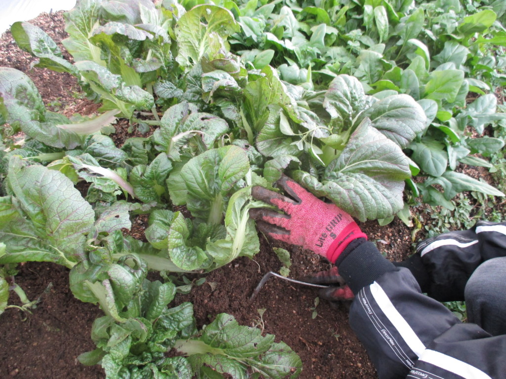 追肥後の中耕